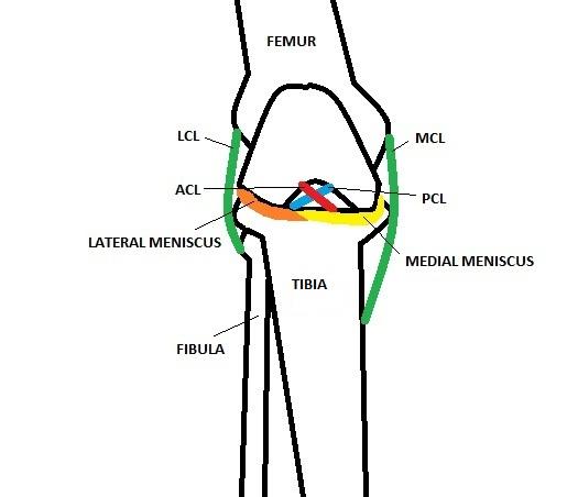 knee medial cruciate ligament injury